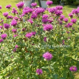 bee balm growing at