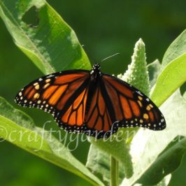 monarch butterfly on the milkweed at